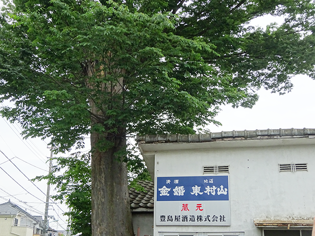 欅(けやき)の大木と、白壁が印象的な豊島屋酒造の土蔵