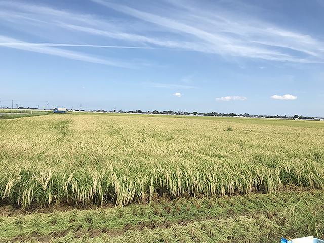 原料米となる酒米五百万石が生産されているのは新潟市南区。